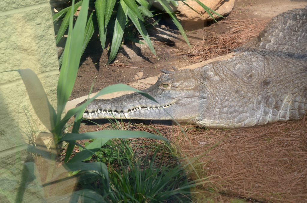 The critically endangered Orinoco crocodile, less tolerate of cold than the American alligator, will have indoor-outdoor options as part of the new Zoo exhibit, located behind the Orangutan Center. URBAN TIMES PHOTO